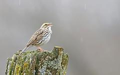 Singing in the rain! (Jeannine St. Amour) Tags: bird sparrow savannahsparrow nature wildlife