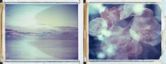 Growing on the outer shore (Joann Edmonds) Tags: roidweek polaroidweek polaroid land 450 669 expired dreamscape flowers floral flora bay multipleexposures packfilm peelapartfilm beach camellia