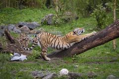 Tiger beim morgendlichen recken (DeanB Photography) Tags: 1dmarkiv affen beutelteufel bären canon duisburg gorilla gruppentreffen katzen koala raubtiere teufel tier tiere tierpark tiger wildpark zoo zootreffen animal gefährlich