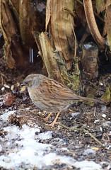 Heckenbraunelle (strallermann) Tags: heckenbraunelle vogel tier singvogel vogelsberg