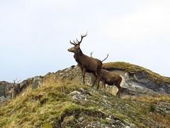 8636 A red deer stag beside Loch Quoich reservoir (Andy - Busyyyyyyyyy) Tags: 20170319 aaa antlers ddd deer glenquoich reddeer rrr scotland sss stag sunny