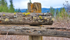 Wolf lichen on a old rotted fence (Out-of-Doors Photos in Coldstream B.C.) Tags: wolf lichen old rotted fence coldstreambc vernonbc