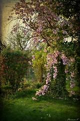 Jardin d'Avril 2 (florence.V) Tags: france hautsdefrance nord 59 lesweppes salomé jardin garden fleur flower printemps photoshop texture