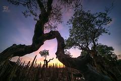 打击...... (Jose Hamra Images) Tags: awang sunset sunrise seascape landscape longexposure lombok lomboktengah teluknaga waterscape tree mangrove