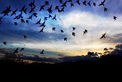 ~ starlings at sunset ~ (Lisa Holder NC) Tags: starlings birds flight flying mountain sky sunset evening clouds cloudy nature landscape scenic animals trees outdoor