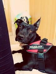 """You're simply the best Better than all the rest Better than anyone Anyone I ever met"" 🎵🐶 (fanniszaszkó) Tags: 2017 spring dog mydog blackdog pitbull blackpitbull hungary pet"