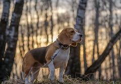 DSCF0995 (androsoff) Tags: fuji beagle