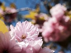 Blossom in Trees (Marius Haffner) Tags: pflanzen baum makro blüten rosa blau äste blätter