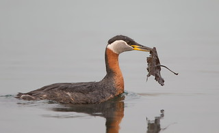 Red-necked Grebe with nesting material