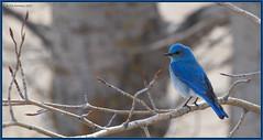 MountainBluebird_6D_1387 (CrzyCnuk) Tags: mountainbluebird alberta canon canon6d wildlife canada bluebird