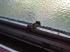 Tiny Moth (joyteale) Tags: moth window macro