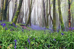BLUEBELL WOOD (midlander1231) Tags: bluebellwoods bluebellsandmistywoodland mistywoodland bluebells spring springflowers woodland forest trees britain england nature