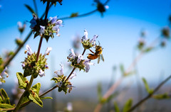 Bee Cool (Naturali Images) Tags: bee flowers pollen pollenate blue sky spring almostsummer