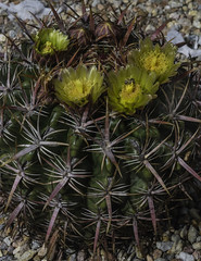 Barrel Cactus With Blooms, Barbs And Bee (Bill Gracey 15 Million Views) Tags: barrelcactus flowers flores color cacti spines barbs nature naturalbeauty offcameraflash macrolens yongnuorf603n yongnuo garden bareflash