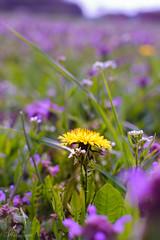Löwenzahn im Taubnesselfeld (MaikeJanina) Tags: flowers taubnessel löwenzahn taraxacum purple lila blumen nature natur lamium