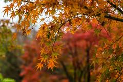 IMG_1666 (Evgeny Gorodetskiy) Tags: himeji maple foliage asia momiji leaves outdoor autumn rain japan park himejishi hyōgoken япония jp
