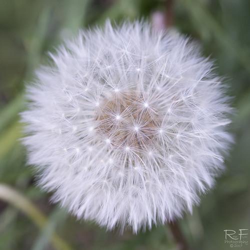 Dandelion Seed head 3