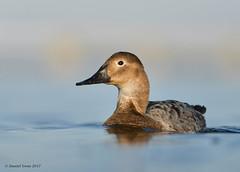 Canvasback (Danielirons02) Tags: nikon nikon300mmf4 nikontc14 nikond610 canvasback dorchestermd fullframe maryland photography birding duck bird water lighting
