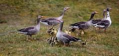 De Familie op weg. (Omroep Zeeland) Tags: ganzen