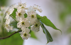 Asian Greetings (AnyMotion) Tags: callerypear chinesischewildbirne zierbirne pyruscalleryana blossom blüte bokeh tree baum 2017 floral flowers frankfurt frontgarden vorgarten plants anymotion colours colors white weis nature natur 7d2 canoneos7dmarkii spring frühling primavera printemps
