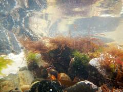 In An Octopuses Garden (steve_whitmarsh) Tags: underwater water sea seaweed rocks coast reflection cullen moray scotland