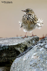 Mipit Munroe! Meadow Pipit, Anthus pratensis perched on a drystone wall (Nigel Blake, 2 million views Thankyou!) Tags: bird history nature birds wall canon photography natural meadow aves perched blake nigel drystone songbird pipit pratensis passerine anthus motacillidae eos1dsmkiii titlark 600mmf4is nigelblakephotography