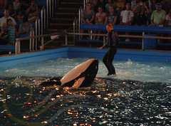 Unna2 (GypsySkye7) Tags: sanantonio believe seaworld shamu killerwhale unna captivity shamurocks