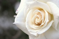 Pale Beauty (AnonymousShadow) Tags: white plant flower rose closeup cream