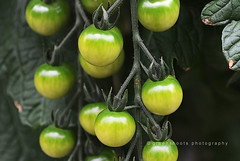 Clyde Valley Tomatoes: Claree Red Cherry (Keith Gooderham) Tags: red black macro green up yellow tomato cherry scotland stem close glasgow valley unripe carluke lanark claree photography copyright greenshoots clyde tomatoes kg130610044bweb1