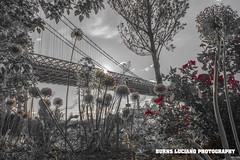 williamsburg bridge (Burns Luciano) Tags: nyc eastriver williamsburgbridge burnslucianophotography