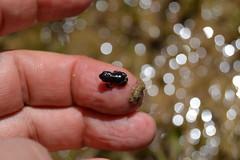 Sapitos (esta_ahi) Tags: anfibios amphibia fauna planadancosa anoia barcelona spain españa испания bufo sapo joaquim plana ancosa