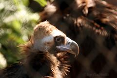 2013 Houston Zoo -  Cinereous Vulture (jan buchholtz) Tags: vulture houstonzoo cinereousvulture janbuchholtz