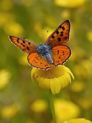 De cuando era primavera............ (T.I.T.A.) Tags: macro mariposa tita insecto bolboreta lycaena lycaenaalciphron carmensolla carmensollafotografía carmensollaimágenes