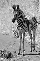 Baby zebra (TareqD) Tags: baby white haven game animal district wildlife malawi zebra foal blantyre thyolo bvumbwe safariblack