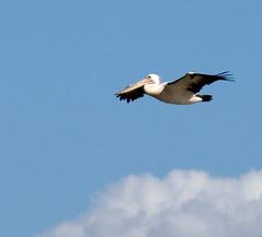 Australian Pelican (Shiningtinfoilstar) Tags: bird beach nature australia waterbird queensland bribie pelecanusconspicillatus