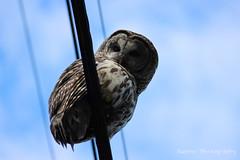 Barred Owl ('Dazza' Quarin...putting the camera away) Tags: canada britishcolumbia owl pacificnorthwest northamerica telephonewires barredowl