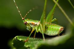 Green Hopper (Oddity Machine) Tags: baby macro green grass insect small grasshopper hopper