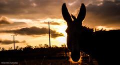 Contra Luz (gervanioweb) Tags: light sunset pordosol sun sol animal sunrise contraluz flickr award explore bahia winner amanhecer thebest melhor thecommons abigfave blinkagain