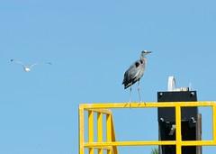 Kingsville, Peele Island Ferry (shireye) Tags: ontario nikon 70200 greatblueheron kingsville d7000 peleeislandferry