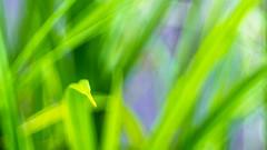 Grass bokeh (fraktalas) Tags: pentax bokeh manualfocus 135mm wideopen f35 pentaxk5 promura13535