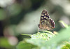 Speckled wood (Mr Grimesdale) Tags: butterfly butterflies stevewallace britishbutterflies mrgrimesdale speckeledwood