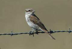 Red-Backed Shrike (icemelter4) Tags: sussex shrike redbacked