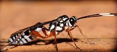 Parasitic wasp (LSydney) Tags: macro insect wasp ichneumonidae parasiticwasp