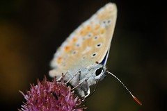 Karagözlü benli dilber (Atakan Eser) Tags: wallpaper macro nature butterfly makro v2 kelebek tabiat dsc4185 doğa