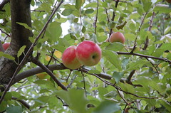 "Smokehouse Apples <a style=""margin-left:10px; font-size:0.8em;"" href=""http://www.flickr.com/photos/91915217@N00/10302973516/"" target=""_blank"">@flickr</a>"