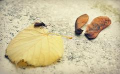 Fallen nature and bug (Helene Iracane) Tags: autumn brown fall nature yellow fruit jaune automne bug insect 50mm leaf maple nikon seed seeds fallen marron érable insecte graines feuille graine samare tombée samares tombés d3100