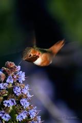 Colibri d'Allen (Selasphorus sasin) - Californie (JFranois Srot) Tags: birds fauna northamerica oiseaux avifauna faune etatsunis trochilidae allenshummingbird selasphorussasin amriquedunord avifaune colibridallen