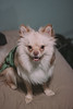 Q (CaffeineSea) Tags: christmas dog holiday art smile animals work puppy photography sweater pom wolf fox pomeranian those jowls
