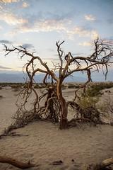 Donde habita el olvido... (Lou Rouge) Tags: california trees usa tree sand rboles desert dunes arena mesquite rbol deathvalley desierto duna sanddunes dunas deathvalleynationalpark mesquiteflatsanddunes mesquiteflatdunes