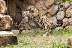 JaxZoo_11-17-13-1460 (RobBixbyPhotography) Tags: zoo cub florida bigcat jacksonville jaguar flickrbigcats